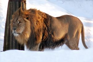 lion-in-snow1