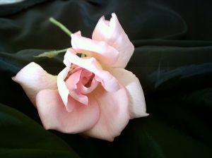 pale-rose